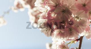 Zierkirschblüten im Gegenlicht – eine Nahaufnahme