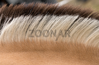 Distinctive markings and mane of Fjord Horse