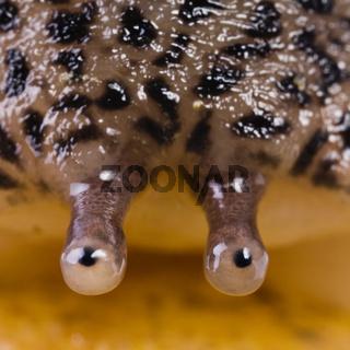 Großer Schnegel (Limax maximus) - Leopard Slug (Limax maximus)