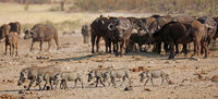 warthogs and african buffalos, Kruger NP, South Africa