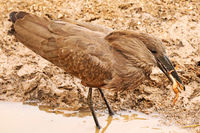 Hamerkop catching a frog, South Africa