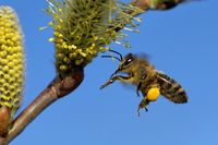 catkin with bee