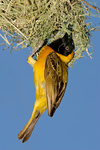 Masked Weaver (Ploceus velatus)