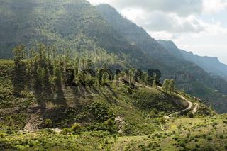 Baumgruppe im Gebirge von Gran Canaria