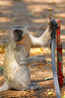 vervet monkey at a tap, Kruger National Park, South Africa