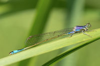 Blue dragonfly on green background.