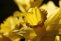 Close up of daffodil