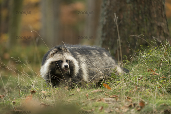 at the edge of the forest... Raccoon dog *Nyctereutes procyonoides*