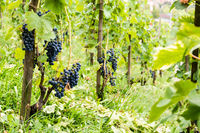 Red vine grapes in Switzerland in summer