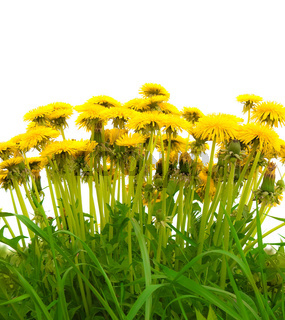 yellow isolated dandelion