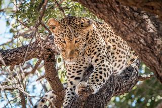 Leopard starring in a tree.