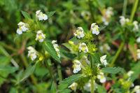 die Heilpflanze Saat-Hohlzahn - the herbal plant  Downy Hemp-nettle or Galeopsis segetum