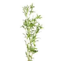 Bohnenkraut isoliert auf weiss - Summer savory isolated on white