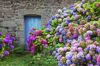 Colourful Hydrangeas at a country house in Brittany