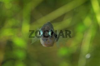 Stichlinge, Gasterosteidae, Sticklebacks