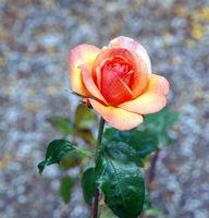 The Rose Sunny Honey