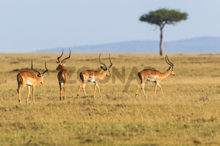Impala antelope walking on the grass landscape
