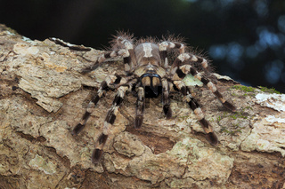 Arboreal tarantula, Poecilotheria tigrinawesseli. Eastern Ghats, India