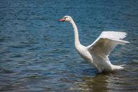 Swan preparing to fly away