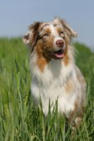 Australian shepherd puppy red-merle colored
