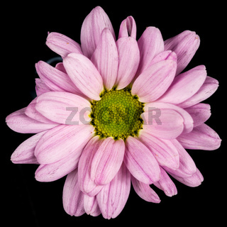 close of of a pink common daisy
