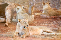 lionesses at a carcass of a dead giraffe, South Africa