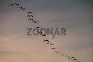 Kraniche in Formationsflug am Abendhimmel
