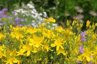 Olymp-Johanniskraut, Hypericum olympicum - Hypericum olympicum, a yellow blooming St. John's-worts plant