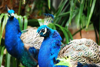 Peacocks