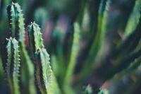 small cactus macro , cactus plant closeup