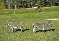 Zwei Hausesel (Equus asinus asinus)  auf der Weide
