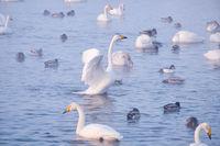 Cygnus cygnus - whooper swan flittering on Altai lake