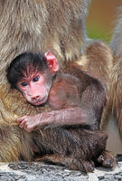 young baboon at national park Cape of Good Hope, South Africa