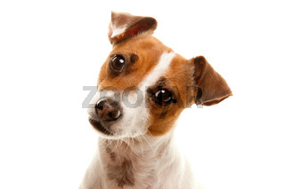 Portait of an Adorable Jack Russell Terrier Isolated on a White Background.