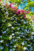 Bougainvillea tree and Phlox plant closeup.