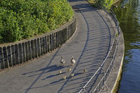 Gray geese (Anser anser) on a road, gray geese family, Outer Alster, Hamburg, Germany, Europe