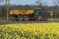 Traktor mit Hänger vor einem blühenden Narzissenfeld