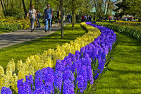 Blue and white Hyacinthes, Keukenhof Flower Gardens, Lisse, Netherlands