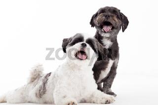 2 young shi tzu dogs