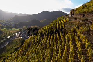 Weinstöcke im Ahrtal, Rotweinwanderweg