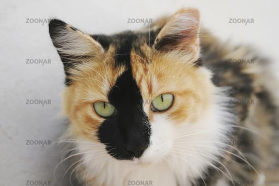 Portrait einer bunten Katze.