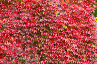 fall autumn background with red leaves for backdrop
