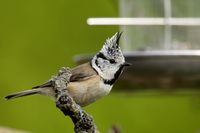 crested tit on a bird feeder