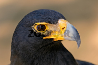 Black eagle portrait