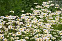 Magerwiesen-Margerite - Leucanthemum vulgare, the ox-eye daisy in garden