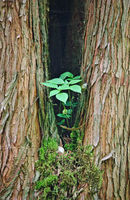 Forked tree with green plant and snail