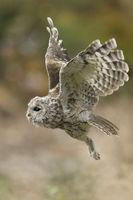 owls in flight... Tawny Owl *Strix aluco*