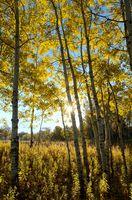 The Sun Shining Through Aspen Trees in the Fall