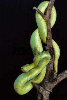 Bamboo pit viper, Trimeresurus gramineus from Kanger Ghati National Park, Bastar District, Chhattisgarh