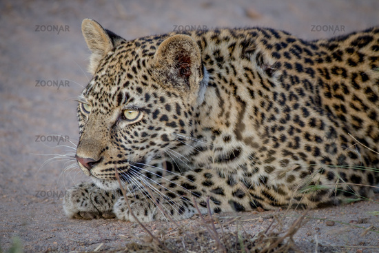Young Leopard stalking his sister.